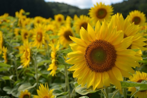 sunflower-891015_1280