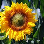 sunflower-3540266_1280
